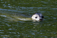 HBSL00041 - Harbor Seal