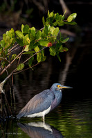 FLTH00122 - Tricolored Heron