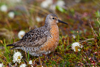 NMRK00266 - Red Knot