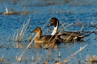 Pintail Duck - PT00159