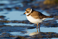 SP00183 - Semipalmated Plover