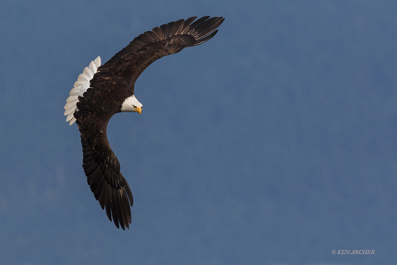 BE08781 - Bald Eagle