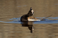 NMLD01696 - Long-tailed Duck