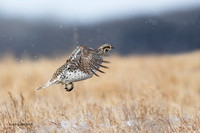 STGR00297 - Sharp-tailed Grouse