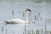 SDTS00129 - Trumpeter Swan