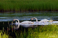 SDTS00183 - Trumpeter Swan