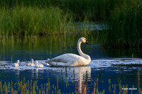 SDTS00355 - Trumpeter Swan