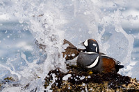 Harlequin Ducks - HNDK00073