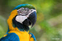 BZBG00048 - Blue & Gold Macaw