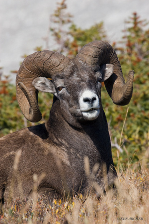BHRM00242 - Rocky Mountain Bighorn Sheep