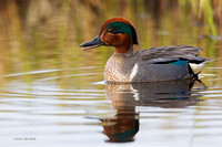 NMGW00004 Green-winged Teal