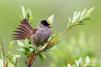NMGS00208 - Golden-crowned Sparrow