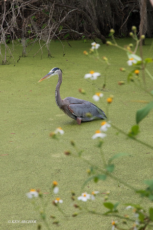 FLGB00045 - Great Blue Heron