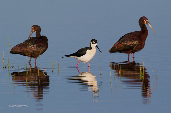WFIS01034 - Black-necked Stilt & White-faced Ibis