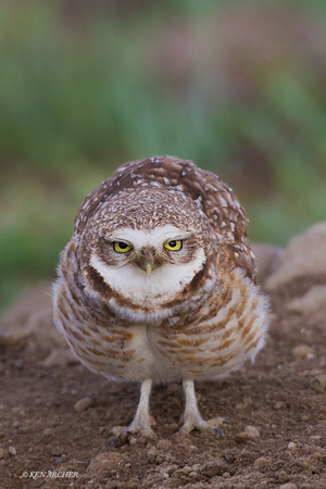 BWOL00485 - Burrowing Owl